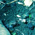 イメージ画像 ミツバチ大量死、イネ農薬が原因か