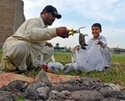 巨大ネズミ大発生との闘いも最前線のパキスタン・ペシャワル