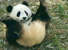 【Bing速報】動くパンダ 生々しすぎ