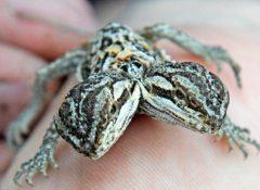 【画像】完全な二股頭のトカゲが誕生